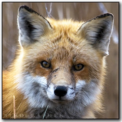 Mr. Fox (Nikographer [Jon]) Tags: winter red de happy lenstagged nikon jan wildlife january story national fox bombay delaware hook nikkor 2008 mates rejoice refuge redfox nwr vulpesvulpes d300 bombayhook bbh 80400mmf4556dvr vulpes specanimal bombayhooknationalwildliferefuge bombayhooknwr nikond300 bombayhooknationalwildliferefugedelaware bhnwr 20080126d30010158 jss20081