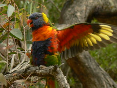 A Happy Rainbow Lorikeet! (ianmichaelthomas) Tags: friends birds victoria parrots rainbowlorikeets cockatoos smorgasbord animaladdiction specanimal goldenmix australiannativebirds australia wildlifeofaustralia animalcraze avianexcellence diamondclassphotographer flickrdiamond worldofanimals auselite wonderfulworldmix warrandyte poundbend naturewatcher birdwatcher ilovemypics qualitypixels flickrlovers vosplusbellesphotos flickrsbestcreatures