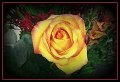 reds edge (~no bullshit~) Tags: flowers roses floral vivid mybestphotos imagepoetry golddragon goldenphotographer theboldflower champagnemoments theperfectphotographer thebestofgodscreation flowersallkinds thebestpicturegallery peaceloveandyellow thebestshotsintheworld thepoweroftheflower thegreatshooter