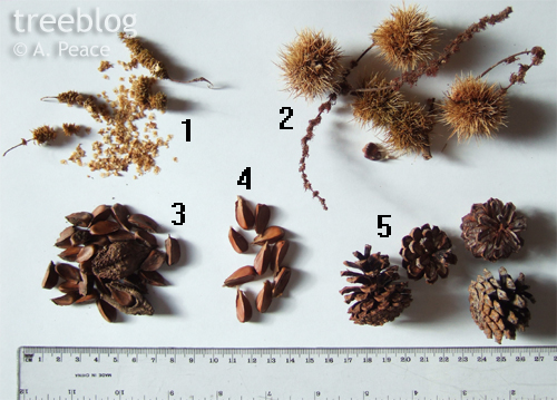 treeblog Set B seeds and nuts (downy birch, sweet chestnut, European beech, weeping beech and mountain pine)