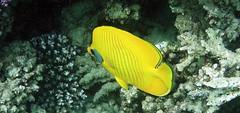 "Yellow as yellow can be (*Chris"")) Tags: fish nature coral underwater redsea egypt diving reef makadi"