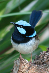 Male Fairy Wren on Branch (n3ttl3s) Tags: australia fairywren featheryfriday specanimal