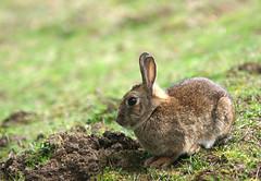 Lapinou (7red) Tags: rabbit nature sony parc lapin aulnaysousbois animalier dslra100 parcdusausset