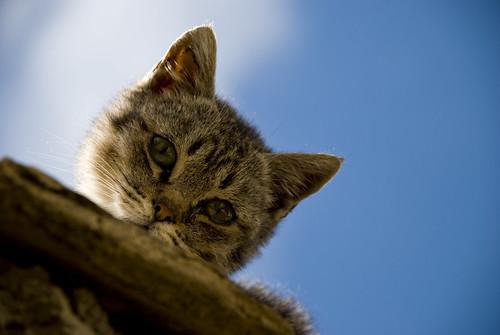 フリー画像| 動物写真| 哺乳類| ネコ科| 猫/ネコ| キジトラ|      フリー素材|