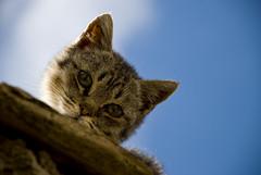 [フリー画像] [動物写真] [哺乳類] [ネコ科] [猫/ネコ] [キジトラ]      [フリー素材]