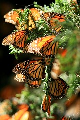 MONARCH BUTTERFLY (Mario Vazquez) Tags: naturaleza insectos nature ecology fauna forest butterfly insects bosque monarch mariposas sanctuary oyamel ecologia monarca santuarios