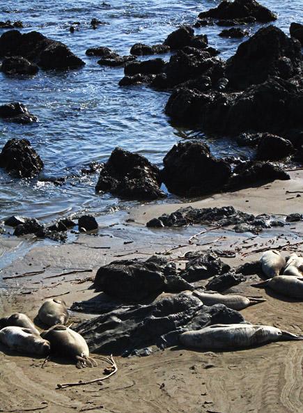 elephant seals near cambria, ca