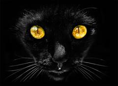 Luna ([Kantor]) Tags: black cat canon eyes negro ojos gato gata hunter panther pantera cazador gatonegro kantor 400d