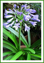 Agapanthus praecox (African Lily), shot April 2008