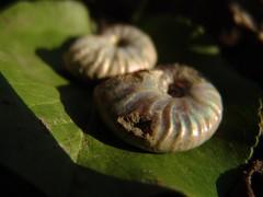 nautilus-leaf