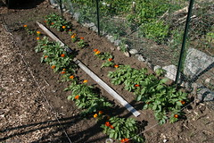 potato plot with marigolds