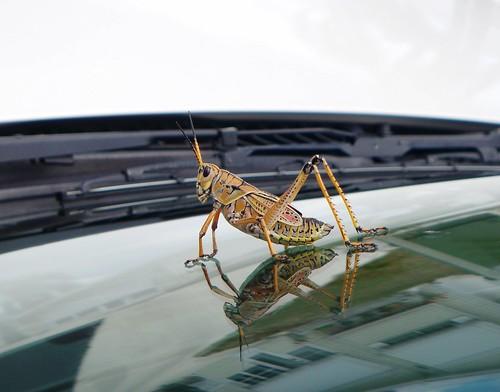 bonita Springs grasshopper