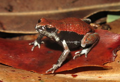Red-backed Broodfrog (Pseudophryne coriacea) (Heleioporus) Tags: redbacked broodfrog pseudophryne coriacea near warwick queensland