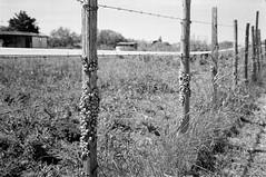 Les Saintes-Maries de la Mer (Jean-Michel Ravetllat) Tags: 35mmsummicronasph lessaintesmariesdelamer leicamp d76 ilfordhp5 camargue escargots snails analog film bw blackwhite selfdeveloped grain