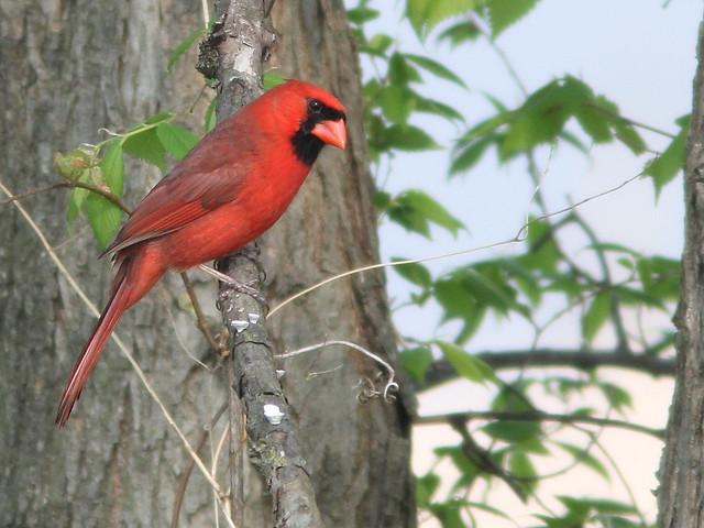 Northern Cardinal 20110510