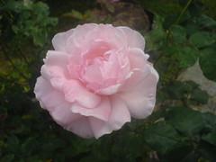 rosa (Elanorya) Tags: verde rose rosa natura erba cellulare e terra fiore prato nascita aria giardino gioia profumo svago scelta