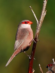 Bico de Lacre /  Common Waxbill (jvverde) Tags: arquinho ave aves avesemportugal avianexcellence avifauna bicodelacre bird birds birdsinportugal birdwatching commonwaxbill estorãos estrildaastrild isidro nature natureza pássaro pássaros pontedelima portugal salreu specanimal wildanimals wildbirds geo:lat=41796552 geo:lon=8648762 geotagged pájaro vogel oiseau uccelloaves emliberdade onwild nanatureza wildlife lintu طَائِر madár পাখি ფრინველები թռչուններ ܛܝܪܐ பறவை สัตว์ปีก 鳥 پنچھی پرندہ 조류 ນົກ adar burung burungburung chim éin fåglar fuglar fugle fugler għasafar hegaztiak izinyoni kuşlar langgam linnud linonyana lintuja madarak manu manuk mbalame mga ibon ndege
