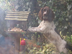 Uh-oh I've been rumbled! (Clare Chick) Tags: food meg spaniel cocker mischief stealing