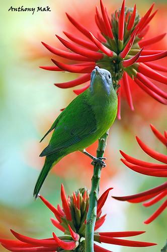 Orange-belled Leaf Bird - Female