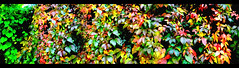 Autumn Hedge (Marcia Salviato) Tags: uk greatbritain autumn color folhas leaves catchycolors cores unitedkingdom britain marcia hedge gb cerca outono putney reinounido grabretanha cellphonephotography duetos enthusiasticamateurs photouk salviato marciasalviato