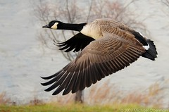 Canada Goose Four, Centennial Lake, Dec. 3 (ozoni11) Tags: lake bird nature birds animal animals fly flying geese wings nikon bokeh wildlife flight wing lakes goose explore waterfowl canadagoose canadageese columbiamaryland d300 centenniallake interestingness408 i500 animaladdiction specanimal michaeloberman mywinners twtmeiconoftheday ozoni11 avianexcellence nikond300 mybestwildlife