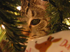 Eye on the prize (jenianddean) Tags: cats kittens maggie christmas2007 jenianddean
