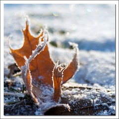 Curly (kidrdaso) Tags: color colour sparkles morninglight frost bokeh curly oakleaf squarecrop icecrystals 28200 kimberlysink