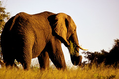 My last shot in 2007 (Arno Meintjes Wildlife) Tags: africa wallpaper elephant nature animal bush wildlife ivory safari elephants rsa krugernationalpark krugerpark africanelephant knp loxodontaafricana parkstock anawesomeshot ultimateshot arnomeintjes