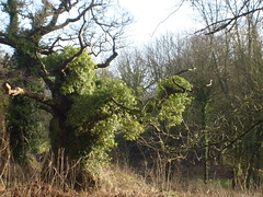 ivy covered tree (dandavie) Tags: trees winter tree forest woods ivy ashtoncourt intrestingtree