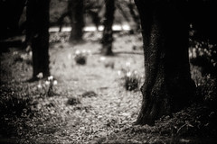 how distant your heart (TommyOshima) Tags: leica blackandwhite tree monochrome bokeh f10 konica noctilux delta100 ilford rf hexar meeks raymondmeeks