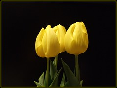 Tulips (Anniko 1996) Tags: yellow march tulips gelb 2008 mrz tulpen excellence schnaich anniko abigfave colorphotoaward theunforgettablepictures goldstaraward llovemypic coolgermany flickrlovers