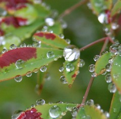 raindrops on green (jodi_tripp) Tags: macro nature leaves rain drops iphotoedited joditripp challengeyouwinner wwwjoditrippcom photographybyjodtripp