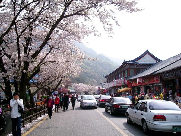 Gyeryongsan in cherry blossom (2)