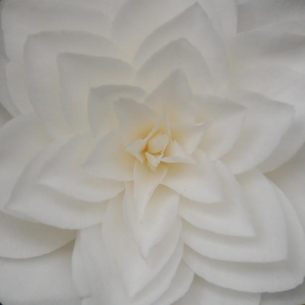 white_camellia_sq_close