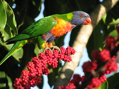 Lorikeet by Pedronet, on Flickr