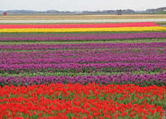 Bollen (Knoffelhuisie Photography.) Tags: flowers colour tulips bollen tulpen kleuren tulipfields bollenvelden bloembollen wonderfulworldofflowers