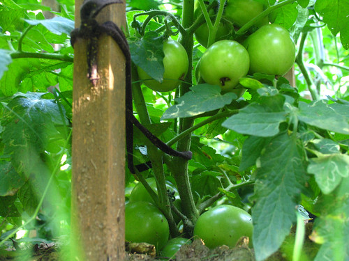 CrabAppleLane Tomatoes - May 11, 2008