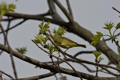 Tenessee Warbler (1 of 1)