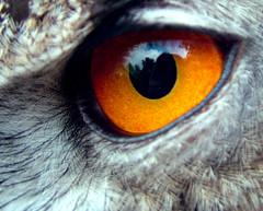 Eyes to Dazzle (jo92photos) Tags: europeaneagleowl eagleowl eye birdofprey jo92 myfuji fujis7000 england uk macro highclerecastle newbury birdwatcher owl predator carnivore platinumheartaward abigfave owleye eagleowleye europeaneagleowleye jo92photos ©allrightsreserved globalbirdtrekkers macrolife challengegamewinner 15challengeswinner
