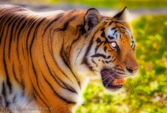 Eye of the Tiger (Michael Pancier Photog