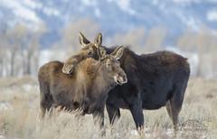 Mother's Hug (David Applebury) Tags: 2012 davidapplebury davidappleburyphotography grandteton grandtetonnationalpark tetons december moose wildlife winter wyoming unitedstates us
