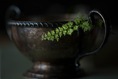 Tarnished (Captured Heart) Tags: fern silvercup tarnished tarnish patina aging