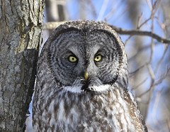 Great Gray Owl (hd.niel) Tags: great gray owl closeup nature wildlife