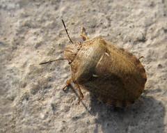 Клоп маврський (Eurygaster maura) (Gansucha) Tags: hemiptera heteroptera scutelleridae eurygaster