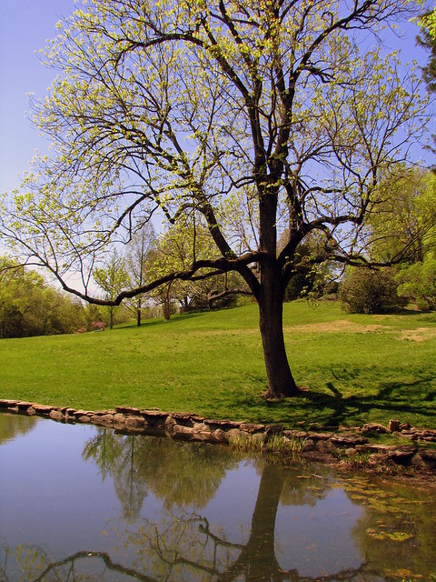 Cheekwood 14: Tree at the edge of one of the Three Ponds