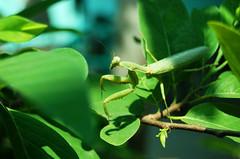 Praying Mantis (sethee) Tags: morning green leaves bug mantis insect photography backyard nikon philippines praying cavite imus d40 sethee
