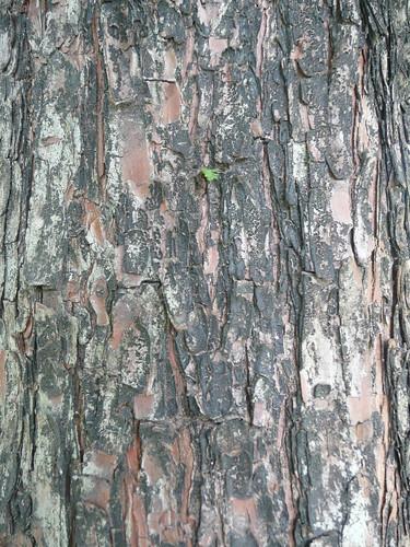 Tree Bark - Ta An Park