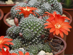 cactaceae (ddsnet) Tags: cactus plant succulent sony hsinchu taiwan cybershot  cactaceae      sinpu hsinpu cybershor        hx100v