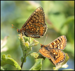 MARSH FRITILLARY  (MALE AND FEMALE)  { EXPLORE } (Grasping-air) Tags: butterflies marsh fritillary marshfritillary