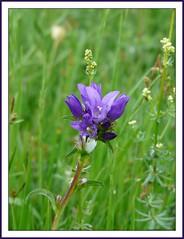 Campanule agglomr (a.laruelle) Tags: fleur campanule